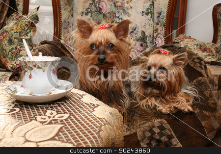 yorkshire stock photo, two nice yorkshire are resting and drinking coffe  by Jiri Vaclavek