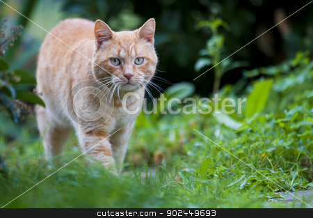 red cat on green stock photo, red cat on grass green by vinciber