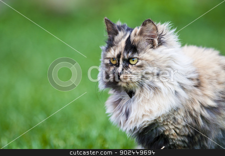 persian cat on grass stock photo, persian cat on green grass by vinciber
