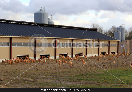 chicken farm stock photo, an organic farm chickens and hens raised outdoors by Cochonneau