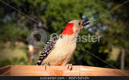 Feeding Time stock photo, A red bellied woodpecker eats a sunflower seed. by Joe Tabb