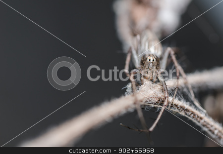 Lynx spider stock photo, Lynx spider or Oxyopes javanus Throll in the nature by sweetcrisis