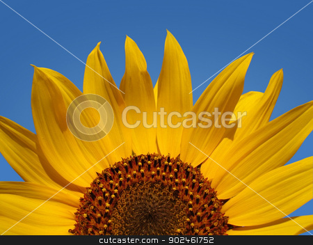 Sunflower Abstract stock photo, Close up view of sunflower in bright sunlight set against blue sky background. by Ionstock