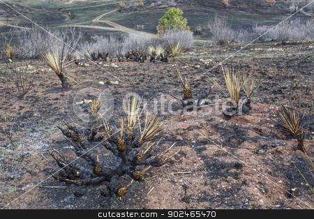 wildfire burnt landscape  stock photo, burnt yucca and bushes after Galena wildfire in Lory State Park near Fort COllins, Colorado, green grass starting to regrow, April 2013 by Marek Uliasz