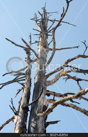 Dead trees against blue sky stock photo, Dead tree trunks and branches against blue sky by John Young