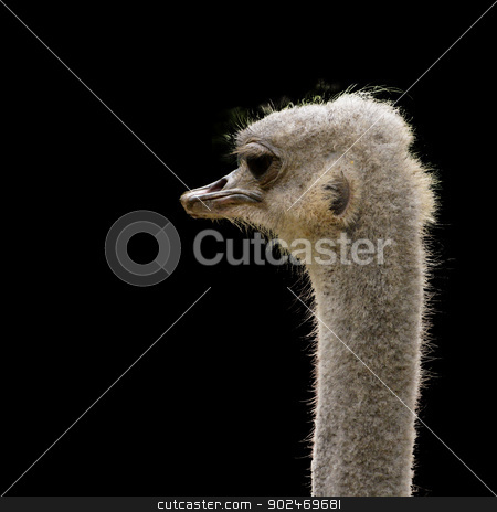 ostrich head isolated stock photo, head of an ostrich isolated on black, Struthio camelus by Andreas Altenburger