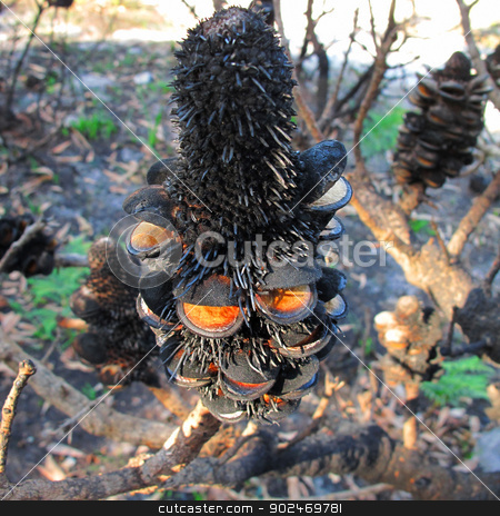 Banksia seed pod after fire stock photo, black Banksia seed pood after bush fire in Australia by Andreas Altenburger