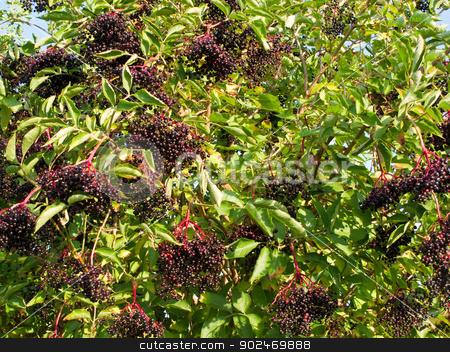 Ripe elderberry on bush stock photo, Ripe Sambucus nigra, elder, elderberry on bush in autumn by Andreas Altenburger