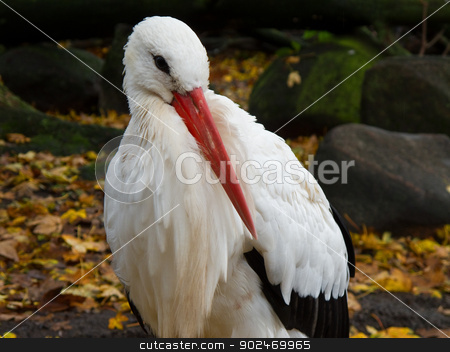 White stork, Ciconia ciconia stock photo, White stork resting, Ciconia ciconia with colored leaves and stones in background by Andreas Altenburger