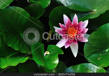 Water lily stock photo, Between the nature and you, there is for you waiting water-lily and it is up to you what you do with. by Karolina Vyskocilova