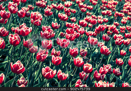 Tulips bed stock photo, Tulips bed by Isabelle-Anne Tassé