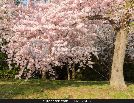 Detail photo of japanese cherry blossom flowers and tree stock photo, Detailed photo of a bunch of bright japanese cherry blossom flowers in Washington DC against the woods background to give warm floral image by Steven Heap