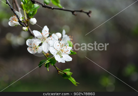Branch of white blooming buds on a dark background stock photo, Branch of white blooming buds on a dark background by velislava