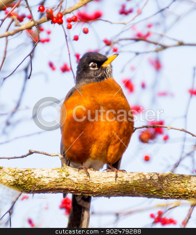 Red Breasted American Robin with Red Berries stock photo, American Robin Turdus migratorius is migratory songbird thrush family.  Most common bird in the United States. by William Perry