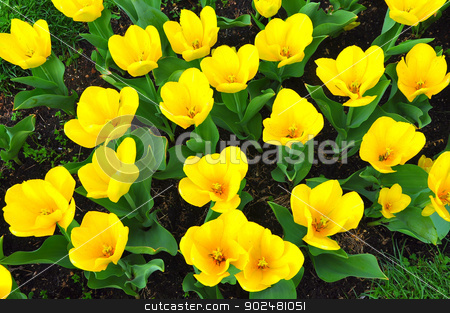 Yellow tulips stock photo, in Washington DC, USA by Hang Dinh