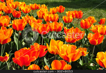 Fire tulips stock photo, in Washington DC, USA by Hang Dinh