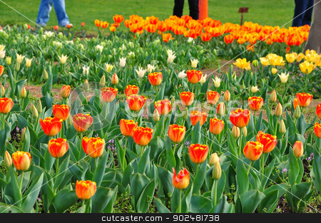 Tulips garden stock photo, in Washington DC, USA by Hang Dinh