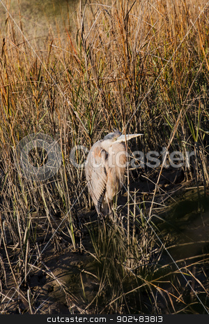 Old Heron in Wetland Marsh stock photo, An old great blue heron in a wetland marsh by Darryl Brooks