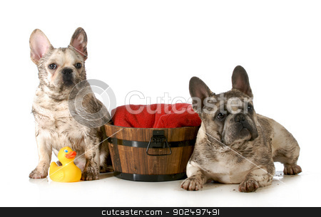 dirty dogs stock photo, dirty dogs - two french bulldogs ready for a bath isolated on white background by John McAllister