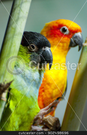 Parrots stock photo, Picture of a parrot with beautiful colors by Fernando Cortes