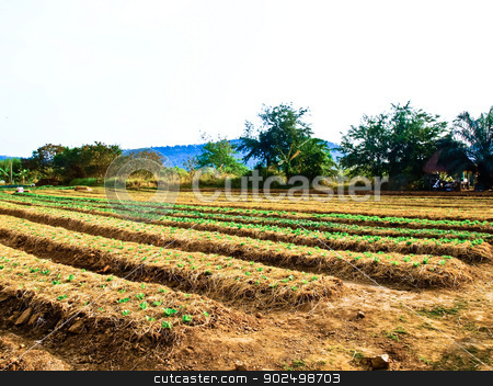 Agricultural industry. Growing vegetable on field in Nakorn Rtch stock photo, Agricultural industry. Growing vegetable on field in Nakorn Rtchasima, Thailand by gururugu