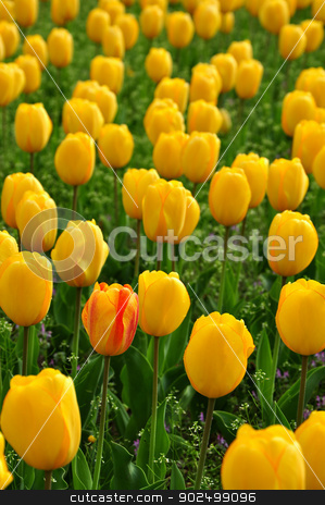 Unique tulip stock photo, One unique tulip in the middle of hundreds of yellow tulips by Hang Dinh