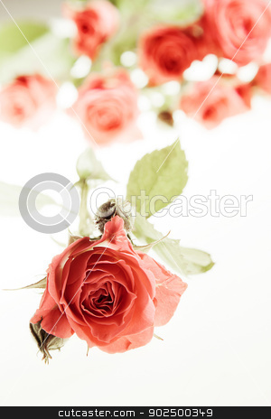 Roses on white stock photo, Roses on pure white background. Selective focus on bud in the foreground.  by Piccia Neri
