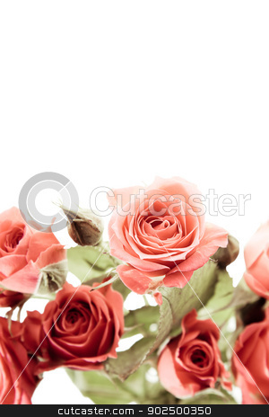 Roses on white stock photo, Roses on pure white background by Piccia Neri