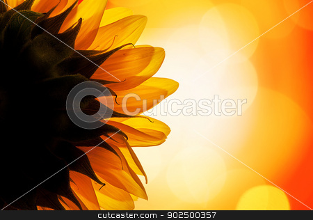 Sunflower in the sun stock photo, The back of a sunflower turning its face towards the sun. by Piccia Neri