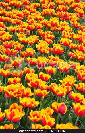 Fire tulips stock photo, Tulips are blooming in a sunny day by Hang Dinh
