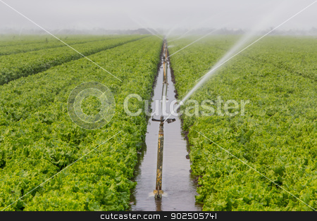 Lettuce Field Irrigation stock photo, Lettuce Fields in Salinas Valley Irrigated by Sprinkler System by Ken Wolter
