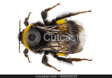 Bumblebee species Bombus terrestris stock photo, Bumblebee species Bombus terrestris common name buff-tailed bumblebee or large earth bumblebee  in high definition with extreme focus and DOF (depth of field) isolated on white background by paulrommer