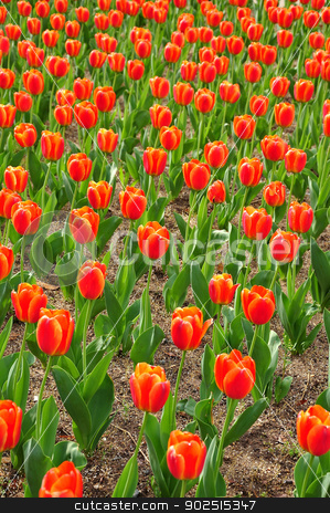 Red tulips stock photo, Springtime in USA by Hang Dinh