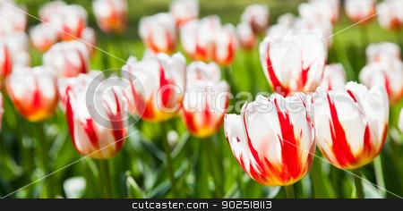 Happu Generation tulip stock photo, Villa Taranto - Italy. Famous Italian garden with a dedicated area for tulips cultivation. Happy Generation tulip. by Paolo Gallo
