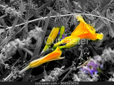 Orange Day Lily on Diagonal stock photo, Orange Day Lily in Color With Black and White Background by Ken Wolter