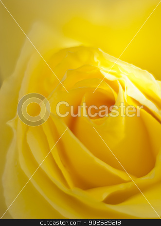 yellow rose stock photo, macro of beautiful yellow rose by Gandolfo Cannatella