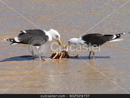 Two Great Black-backed Gulls eating a crab. stock photo, Two Great Black-backed Gulls eating a crab. by Stephen Rees