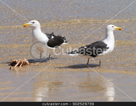 Two Great Black-backed Gulls guarding a crab. stock photo, Two Great Black-backed Gulls guarding a crab. by Stephen Rees