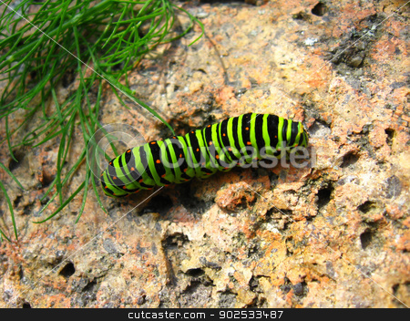 Caterpillar of the butterfly machaon on the stone stock photo, image of caterpillar of the butterfly  machaon on the stone by Alexander Matvienko