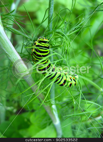 Caterpillar of the butterfly machaon on the fennel stock photo, image of caterpillar of the butterfly  machaon on the fennel, by Alexander Matvienko