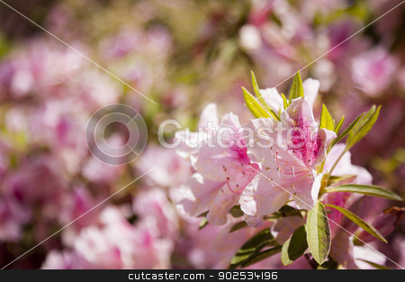 Beautiful Pink Flowers Blooming in Spring stock photo, Beautiful Pink Flowers Blooming in Spring with Narrow Depth of Field. by Andy Dean