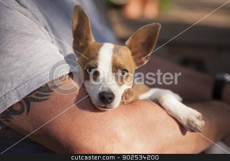 Cute Jack Russell Terrier Look On As Master Holds Her stock photo, Cute Jack Russell Terrier Look On As Master Holds Her in His Lap. by Andy Dean