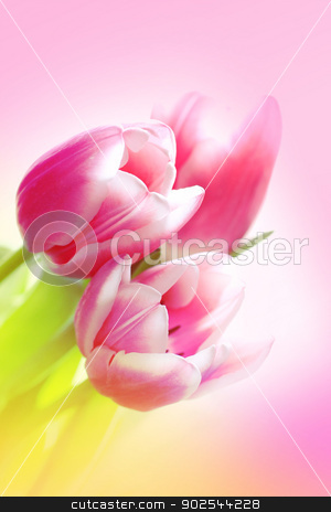Lovely pink tulips  stock photo, Lovely pink tulips close up by Juliet Photography