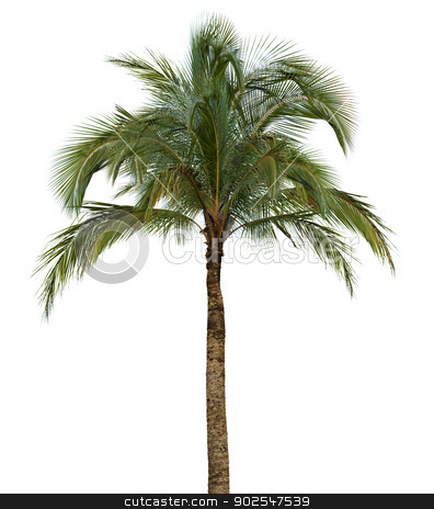 Palm tree on white background stock photo, Coconut palm tree isolated on white background without fruit by Alexey Romanov