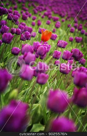 tulips stock photo, Beautiful Spring tulips - floral background by klenova