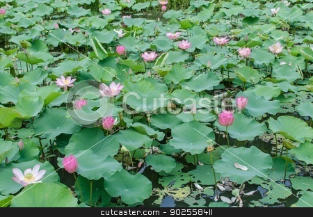 Lotus stock photo, Pink lotus in the pond. by aoo3771