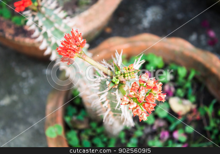 Red crown of thorns flowers  stock photo, Red crown of thorns flowers plant in home garden by nalinratphi