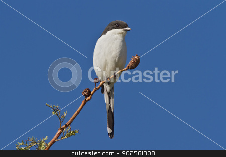 Common Fiscal (Lanius collaris) stock photo, Common Fiscal, also known as fiscal shrike, jackie hangman, and butcher bird, perched on a small branch against a blue background. by Glenn Price