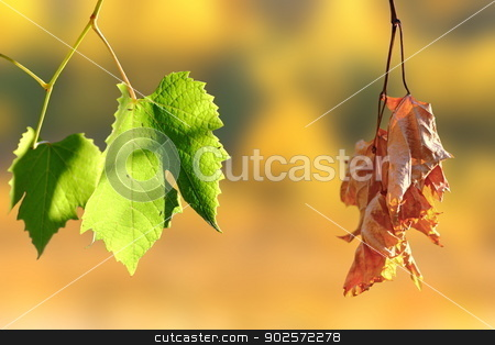life and death stock photo, concept of life and death - two leaves in the vineyard over autumn background by coroiu octavian