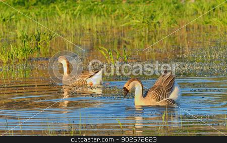 two wild ducks  swim stock photo, two wild ducks swim in the river by Iordache Magdalena